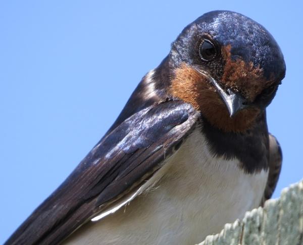 Swallow by ericfaragh