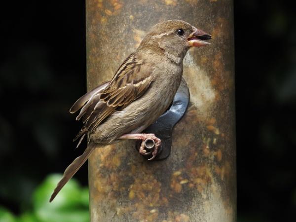 Sparrow by ericfaragh