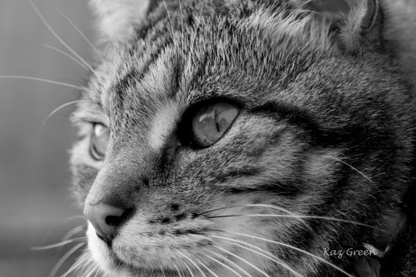 KC, tabby cat. by kaz1