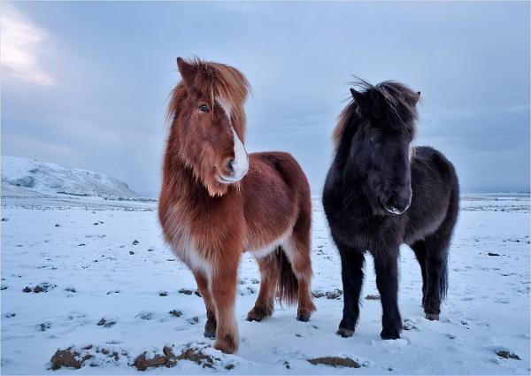Icelandic Ponies by JaneMIchelle