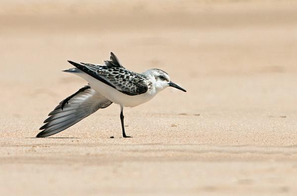 Sanderling Streeeetch! by fishiee