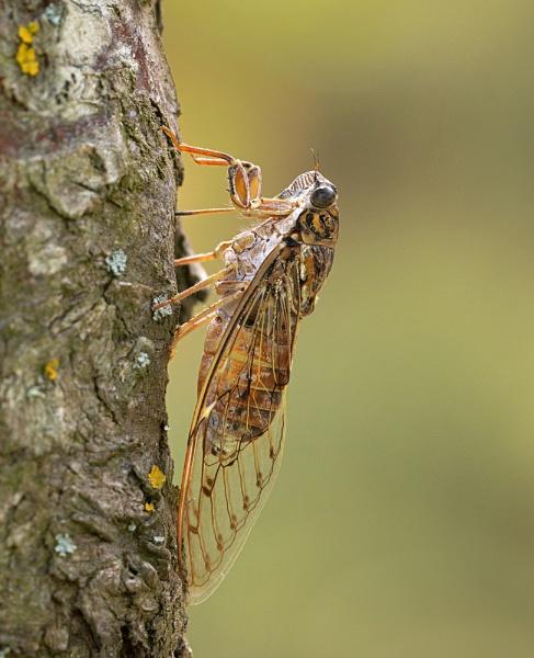 Cicada by fishiee