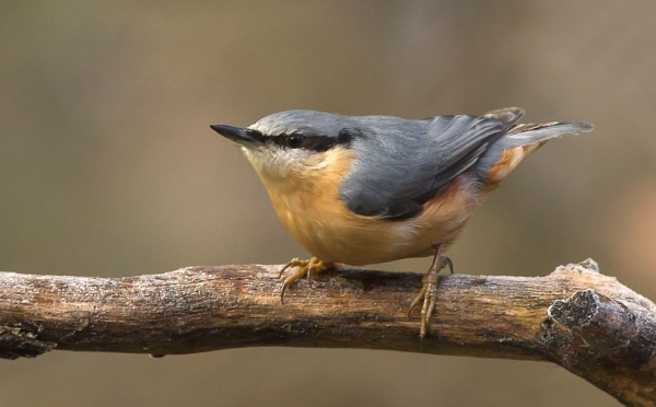 Nuthatch by ali63