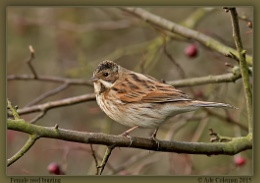 Female Reed Bunting 3