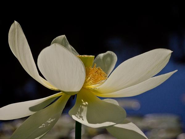 Lotus Flower by MichaelMelb_AU