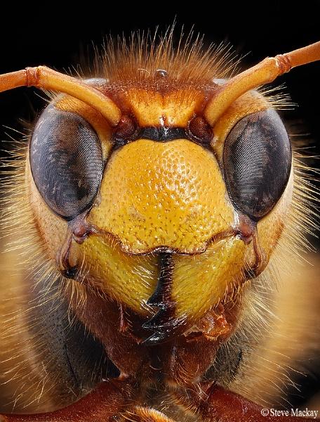Hornet by SteveMackay