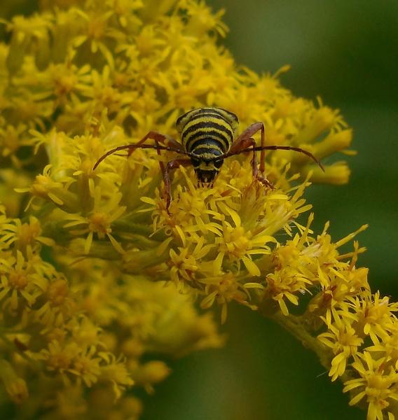 Locust Borer by stillworksimagery