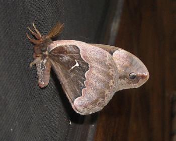 Moth at Night