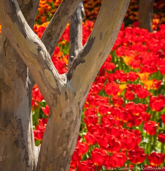 The Tulip Garden by bencarrett