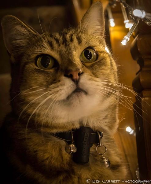 Feline portrait by bencarrett