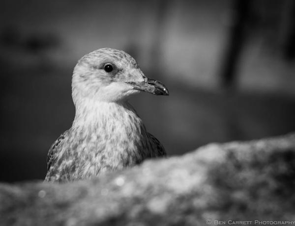 Curiosity of a Seagull by bencarrett