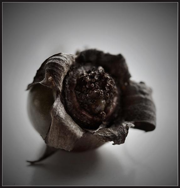 January Rosebud by Morpyre