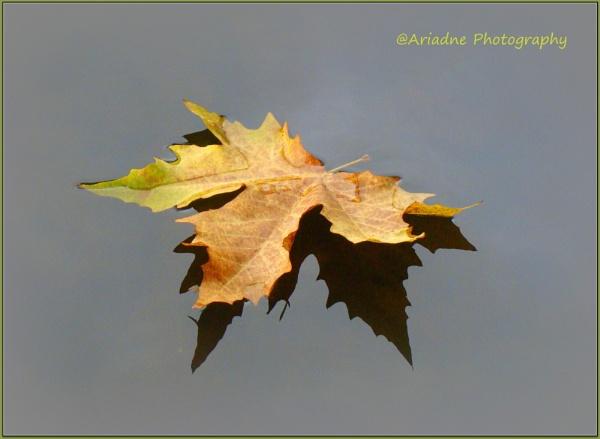 Maple leaf reflection by SvetAriadne