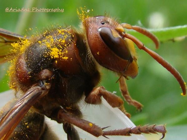 Hornet - Vespa crabro – Frelon or Guêpe frelon or Guichard.... by SvetAriadne