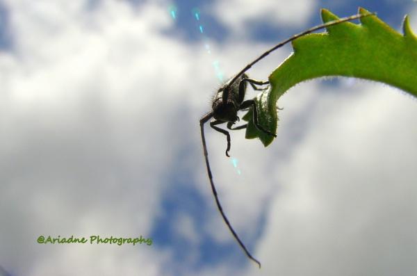 Long Hornes Plum Beetle (Tetrops praeustus)............ by SvetAriadne