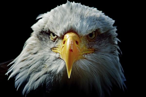 The Eagle Stares by NattieB68