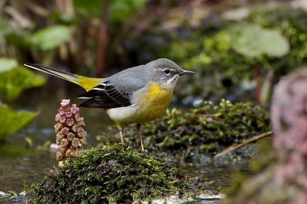 Grey Wagtail by DerekL
