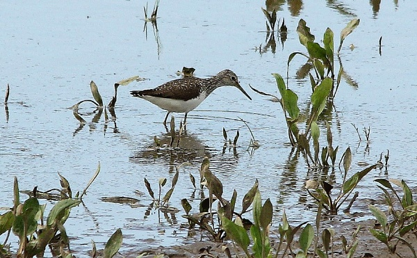 Wood Sandpiper by Glostopcat