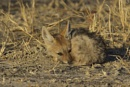 Jackal Pup by P_Higham