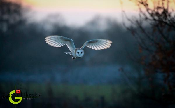 Barn Owl at Dusk by GYPSYOFTHESKY