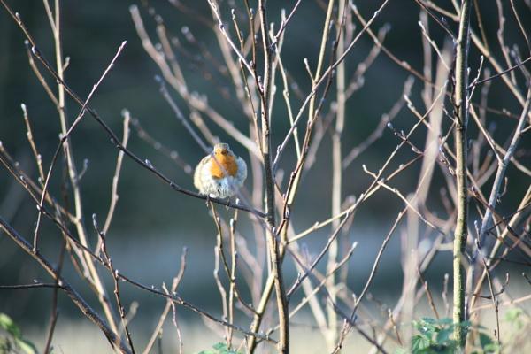 Little fat Robin by sanroy99