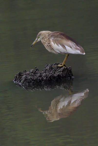Pond Heron Fishing by TonyDy
