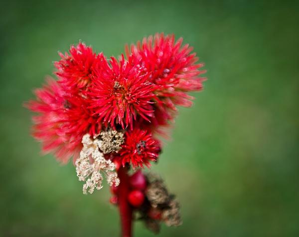 Castor Oil Plant (Ricinus communis) by jasonrwl