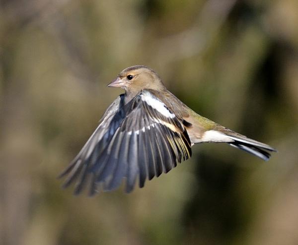 Female Chaffinch in Flight by tonyng