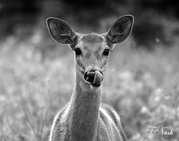 B&W Low Key Deer