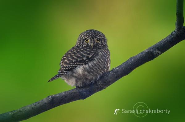 collered owlet by sarasij