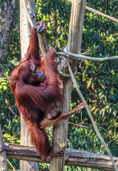 Orangutan and babe by Beardedwonder2009