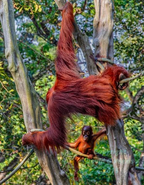 Orangutan mum and baby by Beardedwonder2009