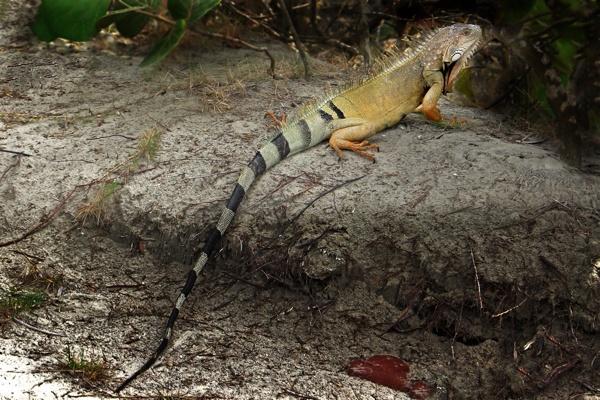 Iguana by mdiniz