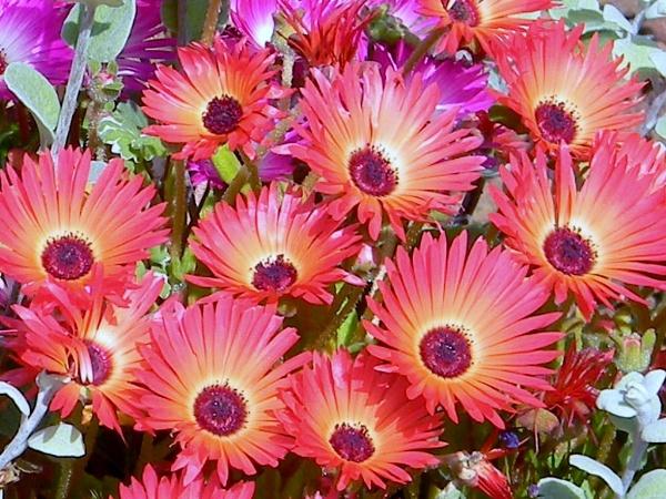 Mesembryanthemums by GPC