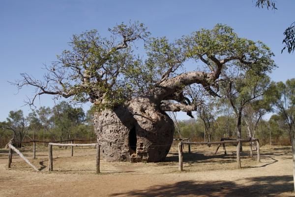 BOAB PRISON TREE, DERBY WESTERN AUSTRALIA by BRITCHIE