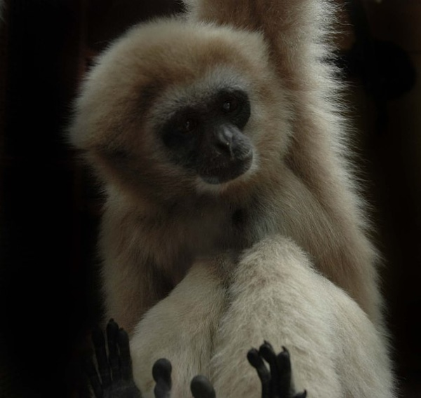 Gibbon monkey by Tigger91