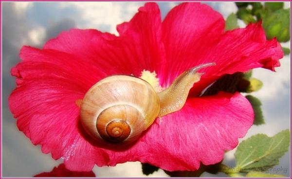 Innocent Hollyhock flower... is love to a Snail....... by SvetAriadne