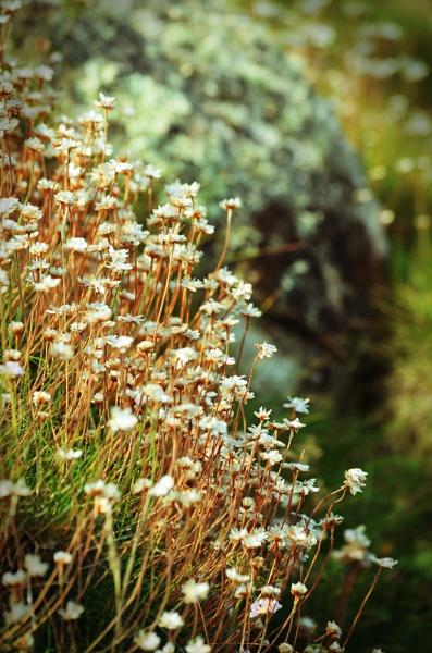 White Flowers by NattieB68