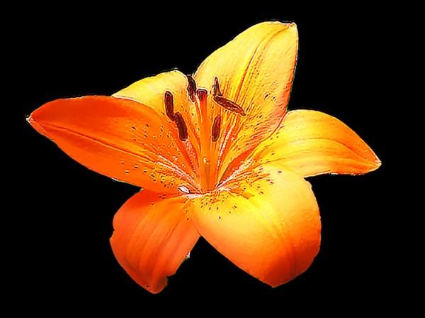lily by cjl47