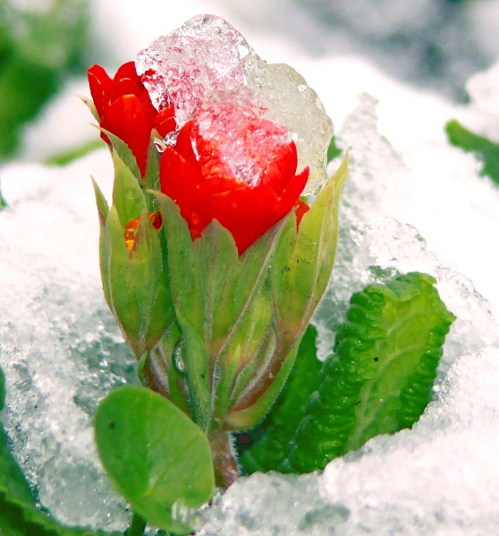 ICE ON RED PETALS #2 by babajoshua