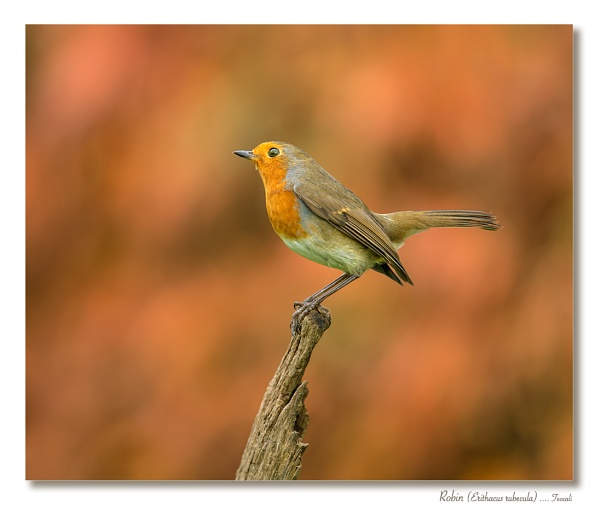 Territorial Robin by teocali