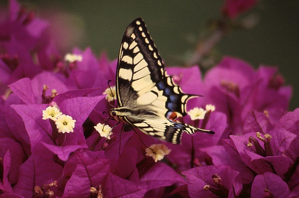 Swallowtail by TonyDy