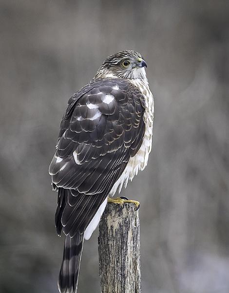 Sharp Shinned Hawk by winger