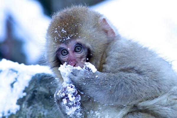 Baby Snow Monkey by cheddar-caveman