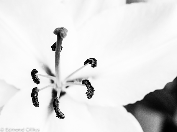 B&W - Lilly by EddyG