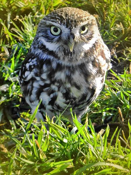 littel owl