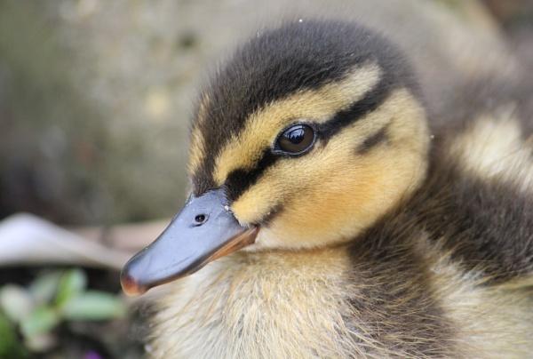 Mallard Duckling by Myathebirdwatcher999