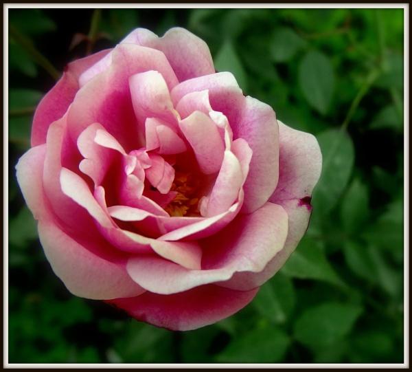 Winter Rose by IshanPathak