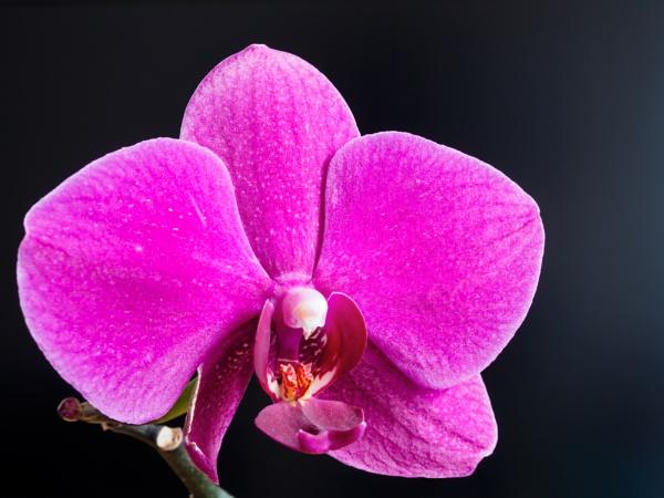 Phalaenopsis by mkulle