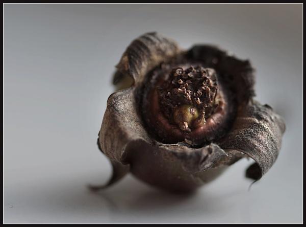 January Rosebud 3 by Morpyre